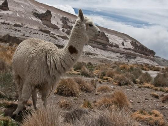 Circuit Pérou Lama Arequipa